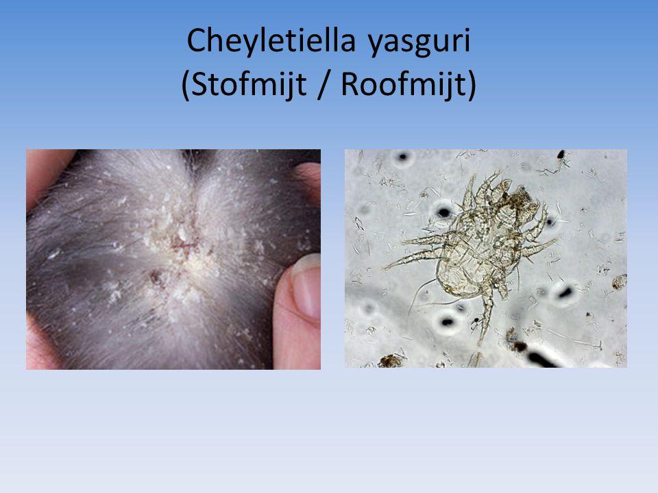 Cheyletiella yasguri (Stofmijt / Roofmijt)