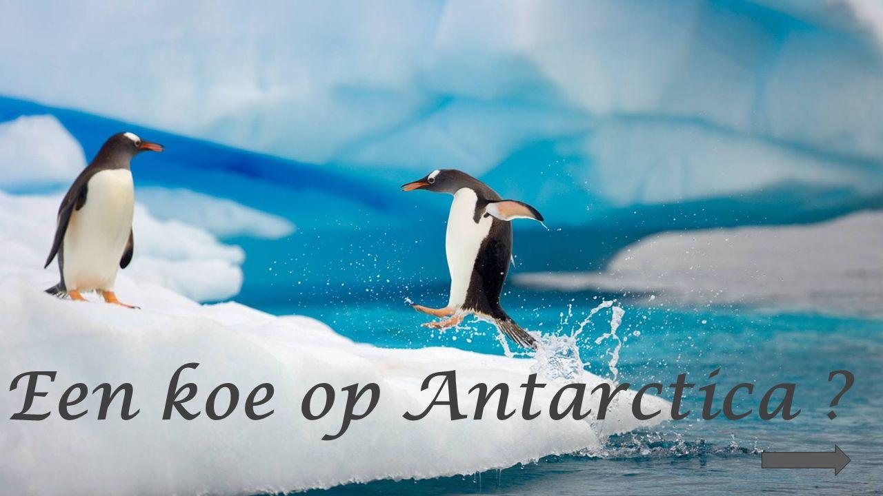 Een koe op Antarctica