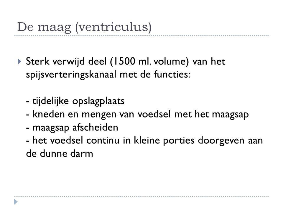 De maag (ventriculus)