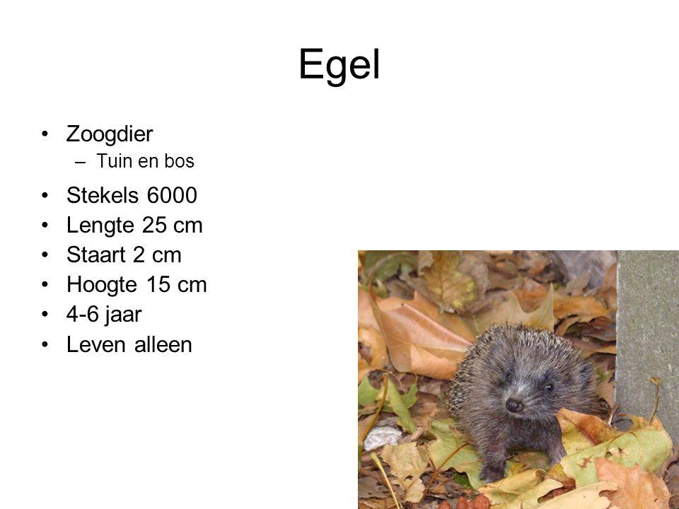 Egel Zoogdier Stekels 6000 Lengte 25 cm Staart 2 cm Hoogte 15 cm