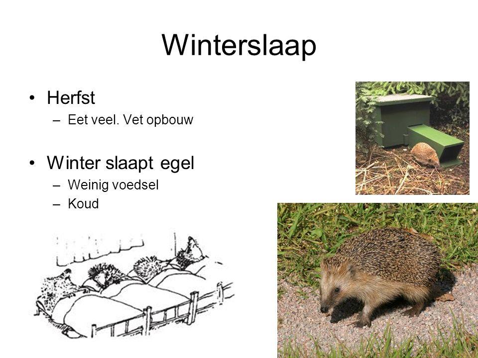 Winterslaap Herfst Winter slaapt egel Eet veel. Vet opbouw