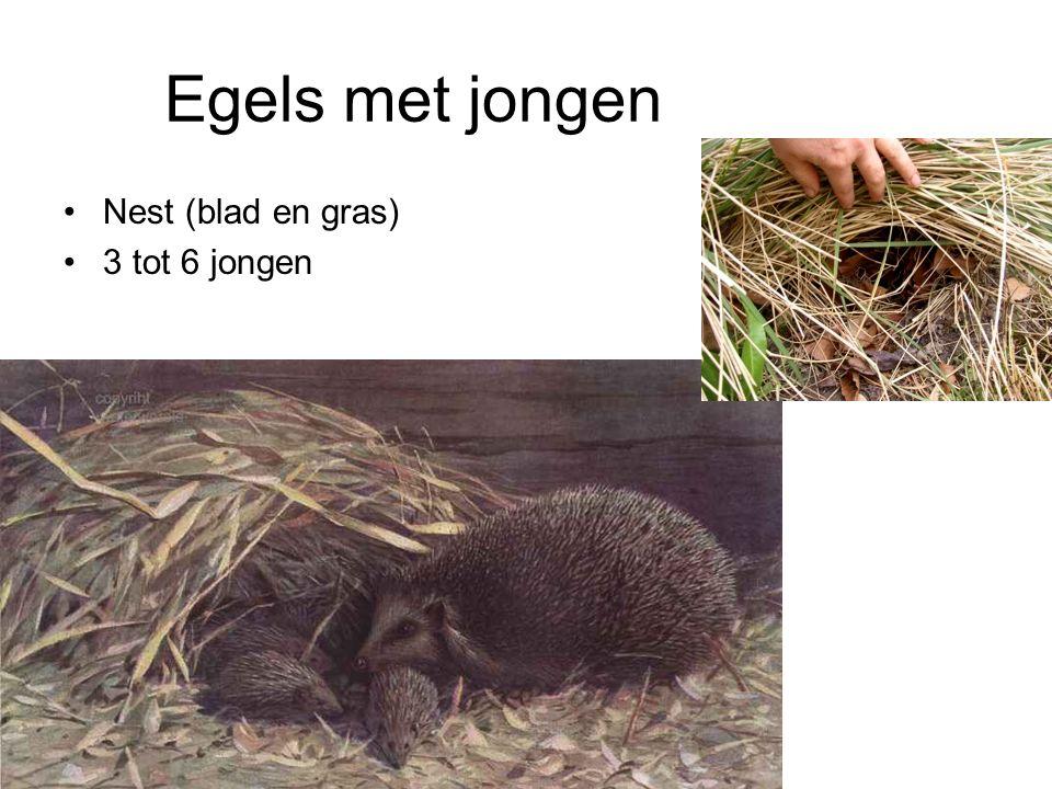 Egels met jongen Nest (blad en gras) 3 tot 6 jongen