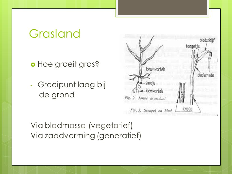 Grasland Hoe groeit gras Groeipunt laag bij de grond