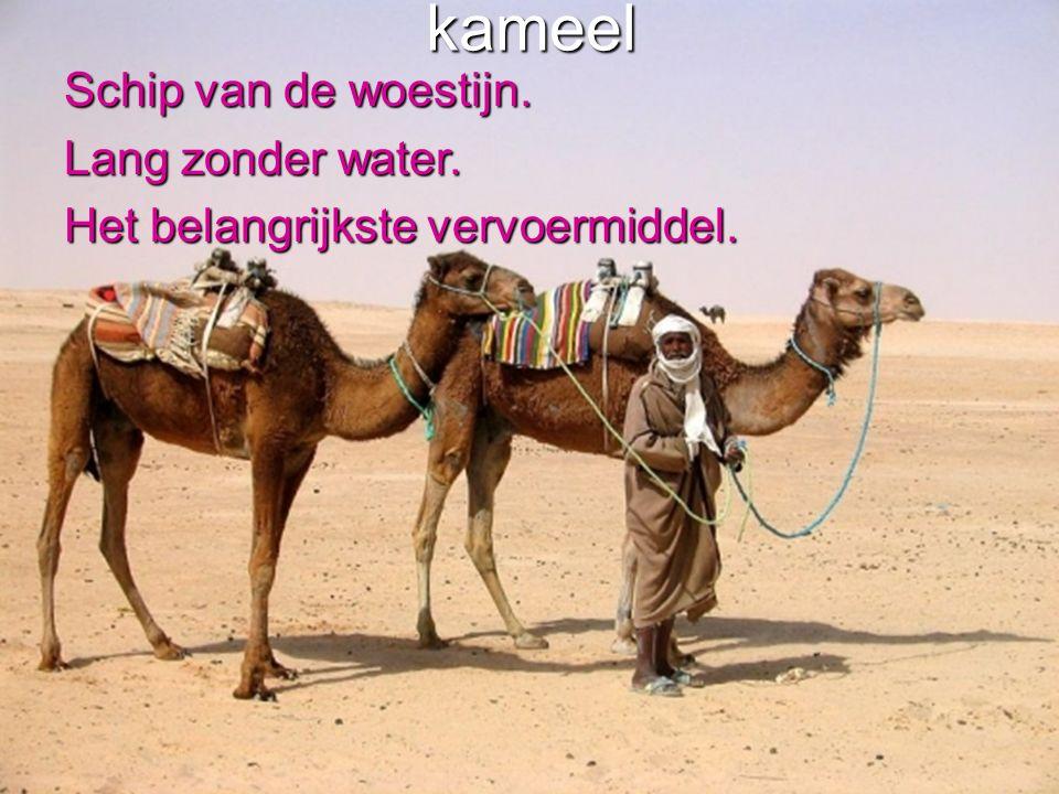 kameel Schip van de woestijn. Lang zonder water.
