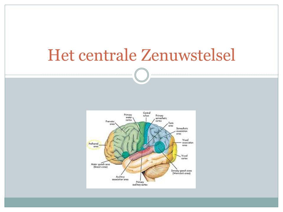 Het centrale Zenuwstelsel