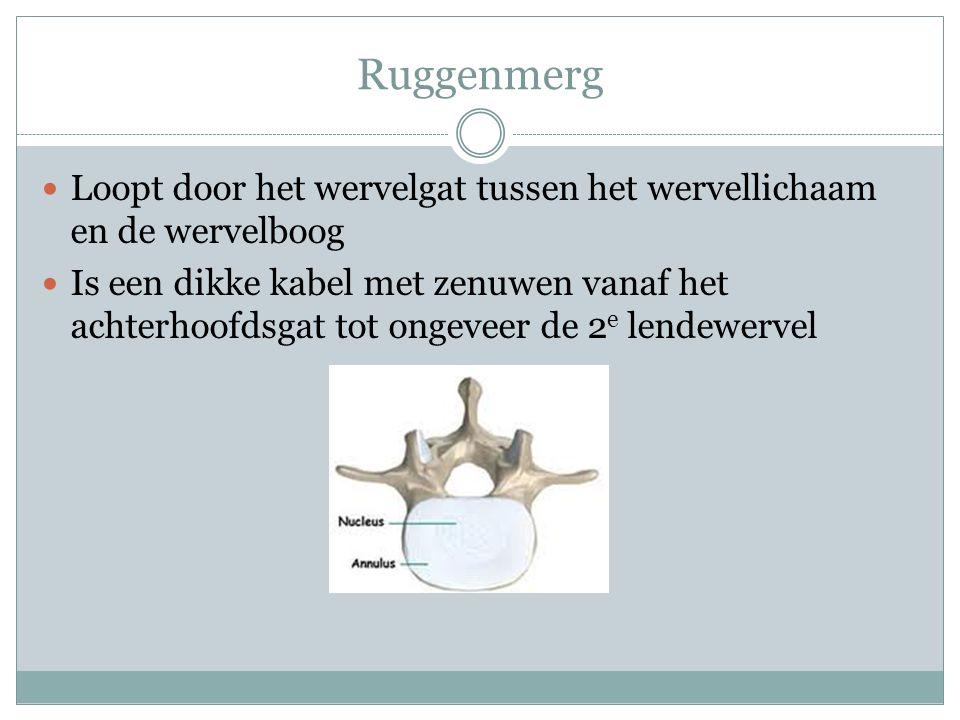 Ruggenmerg Loopt door het wervelgat tussen het wervellichaam en de wervelboog.
