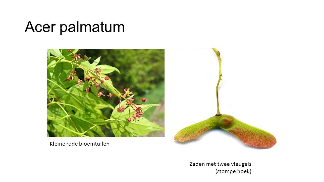 Acer palmatum Kleine rode bloemtuilen