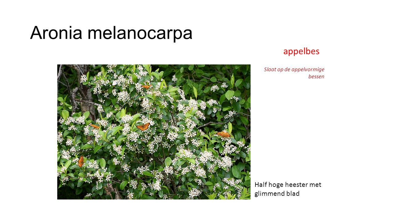 Aronia melanocarpa appelbes Half hoge heester met glimmend blad
