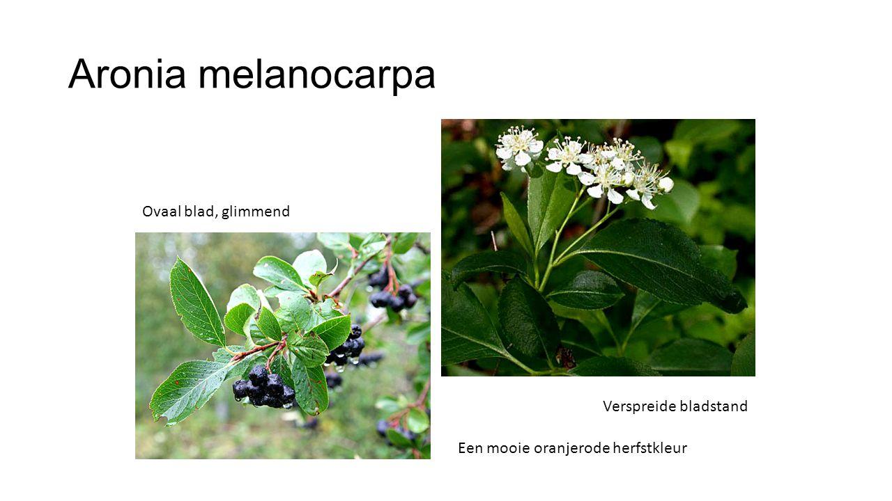 Aronia melanocarpa Ovaal blad, glimmend Verspreide bladstand