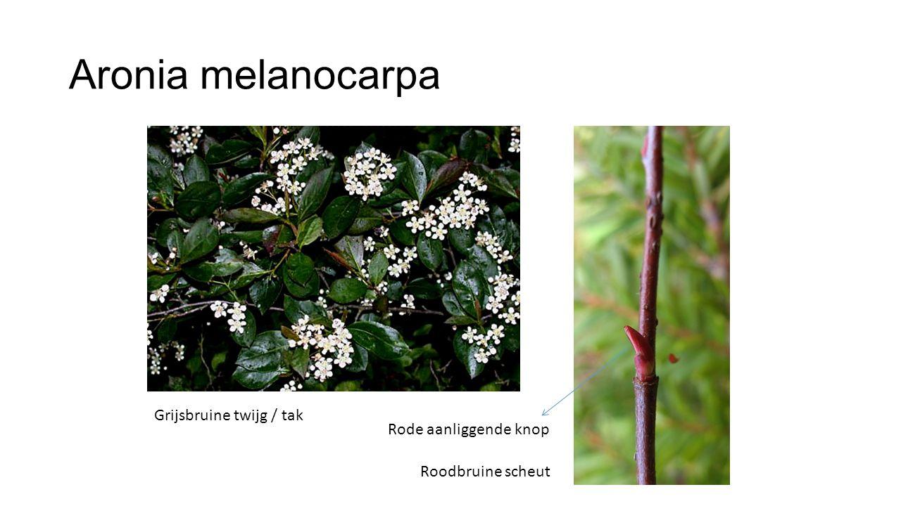 Aronia melanocarpa Grijsbruine twijg / tak Rode aanliggende knop