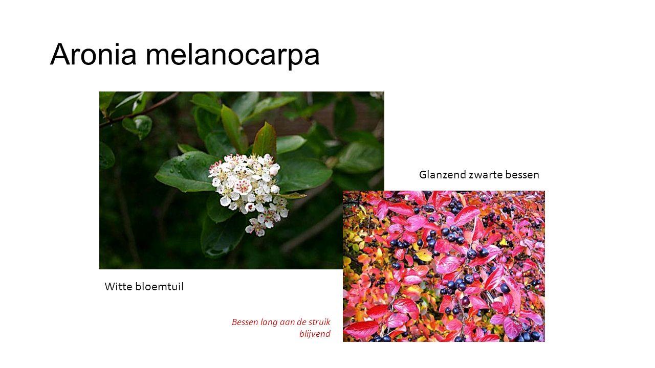 Aronia melanocarpa Glanzend zwarte bessen Witte bloemtuil