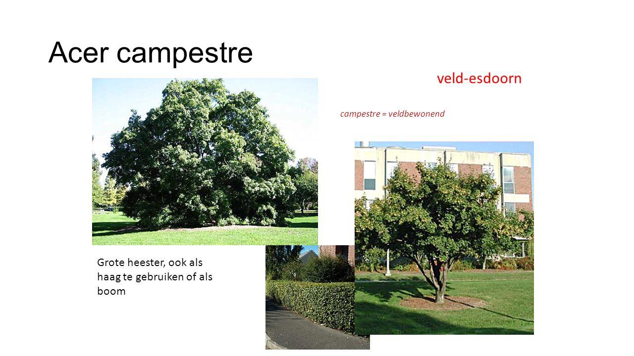 Acer campestre veld-esdoorn