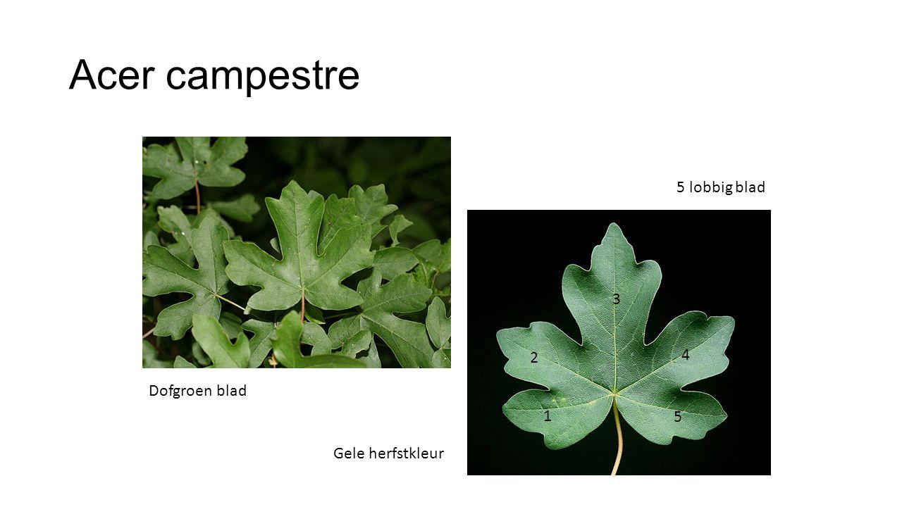 Acer campestre 5 lobbig blad 3 2 4 Dofgroen blad 1 5 Gele herfstkleur