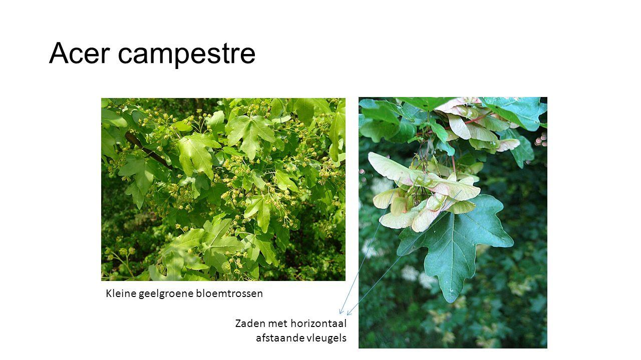 Acer campestre Kleine geelgroene bloemtrossen