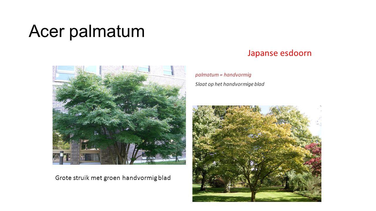 Acer palmatum Japanse esdoorn Grote struik met groen handvormig blad