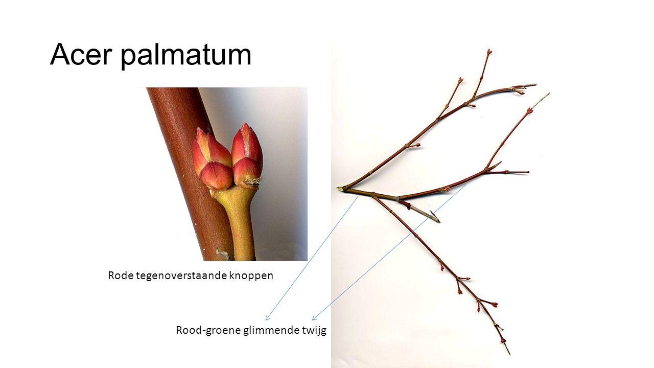 Acer palmatum Rode tegenoverstaande knoppen