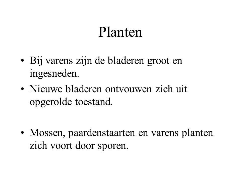 Planten Bij varens zijn de bladeren groot en ingesneden.