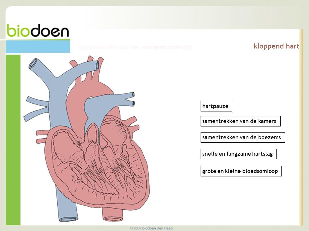 kloppend hart hartpauze samentrekken van de kamers