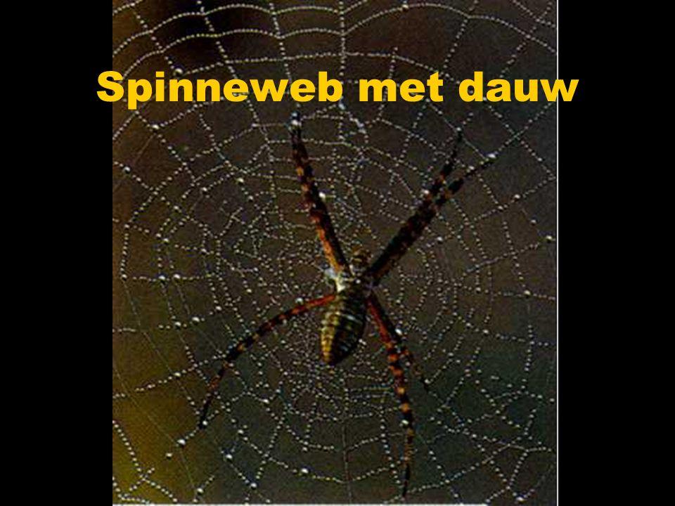 Spinneweb met dauw