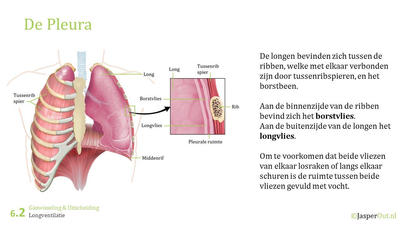 De Pleura De longen bevinden zich tussen de ribben, welke met elkaar verbonden zijn door tussenribspieren, en het borstbeen.