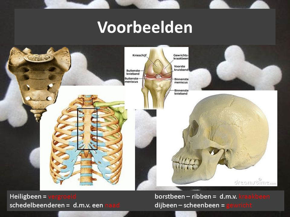 Voorbeelden Heiligbeen = vergroeid borstbeen – ribben = d.m.v.
