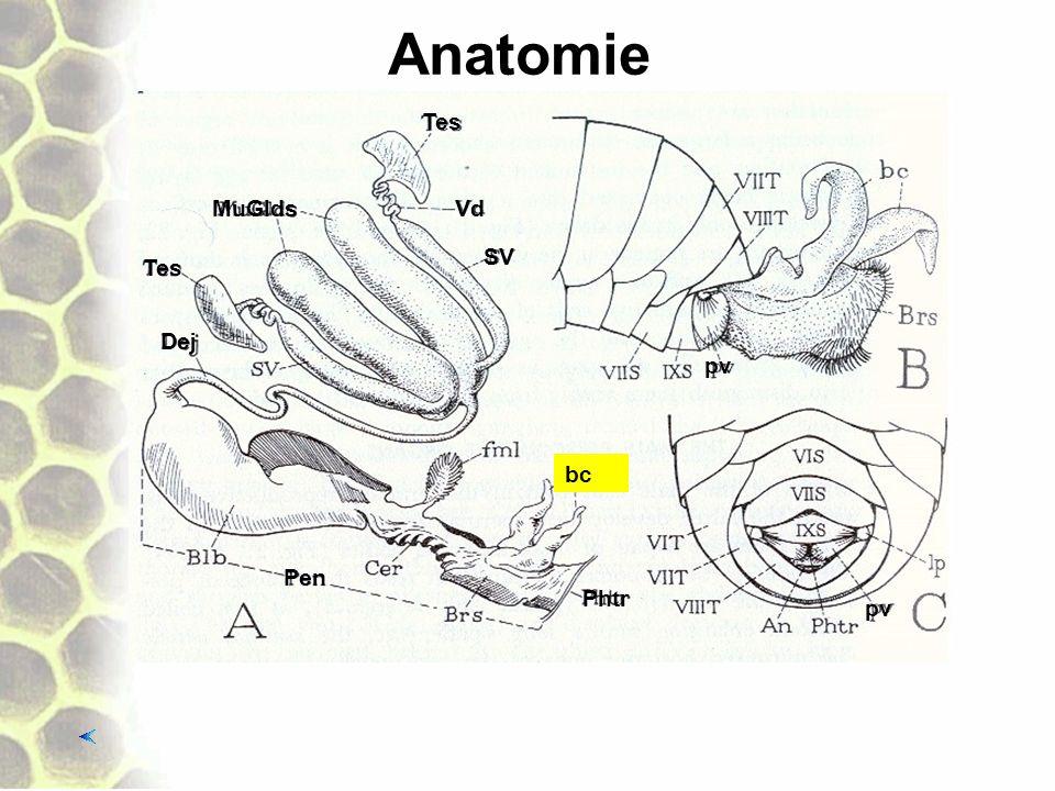 Anatomie Tes MuGlds Vd SV Tes Dej pv bc Pen Phtr pv