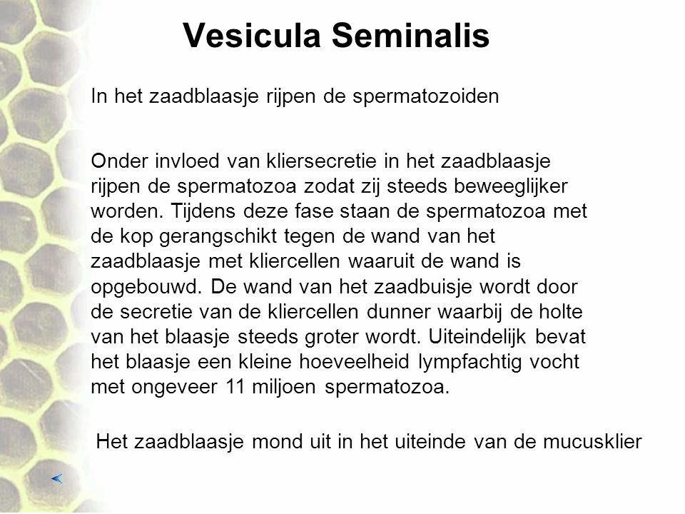 Vesicula Seminalis In het zaadblaasje rijpen de spermatozoiden