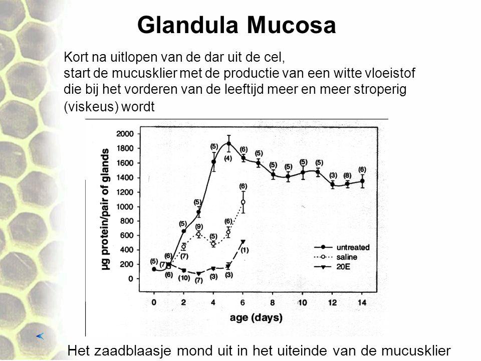 Glandula Mucosa Kort na uitlopen van de dar uit de cel, start de mucusklier met de productie van een witte vloeistof.