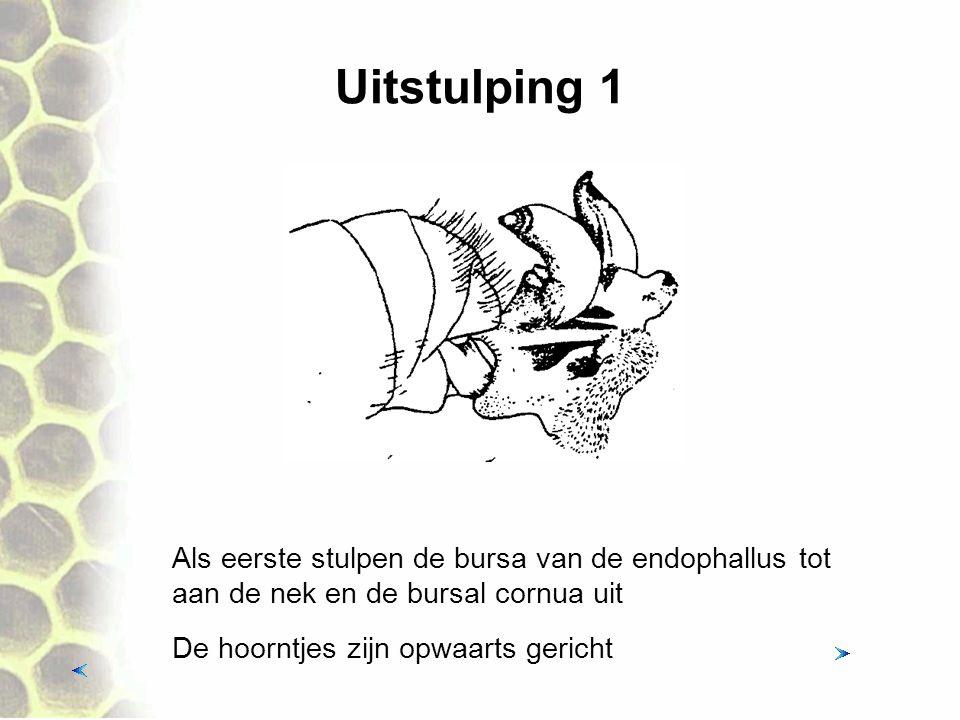 Uitstulping 1 Als eerste stulpen de bursa van de endophallus tot aan de nek en de bursal cornua uit.