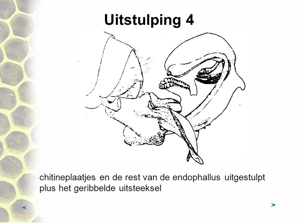 Uitstulping 4 chitineplaatjes en de rest van de endophallus uitgestulpt plus het geribbelde uitsteeksel.