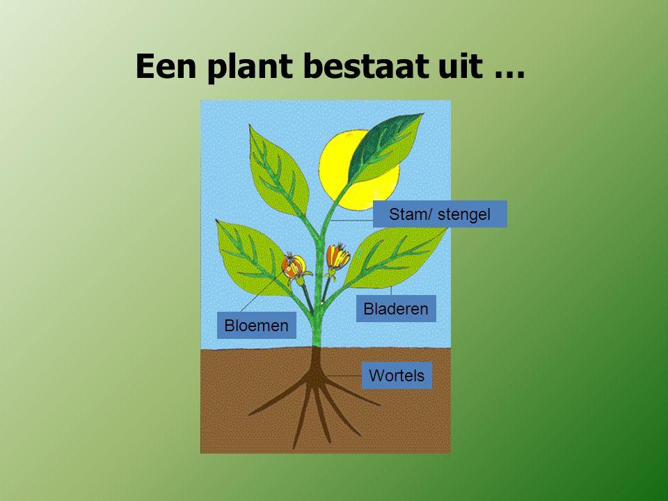 Een plant bestaat uit … Stam/ stengel Bladeren Bloemen Wortels
