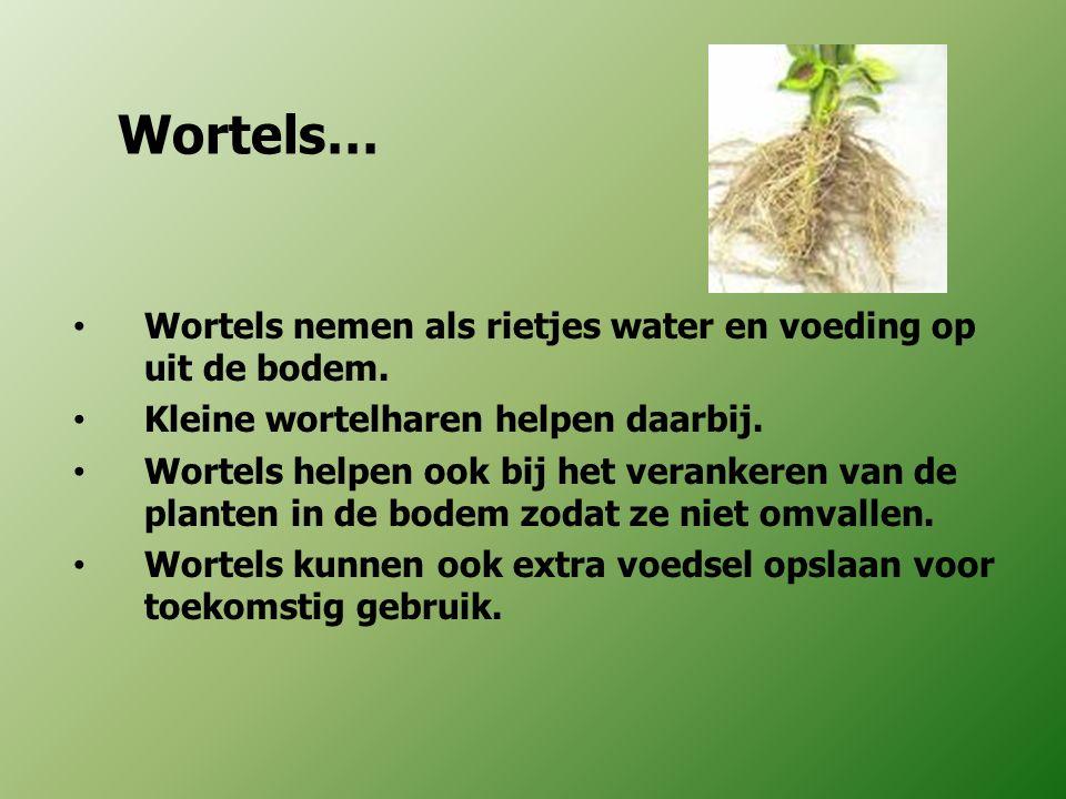 Wortels… Wortels nemen als rietjes water en voeding op uit de bodem.