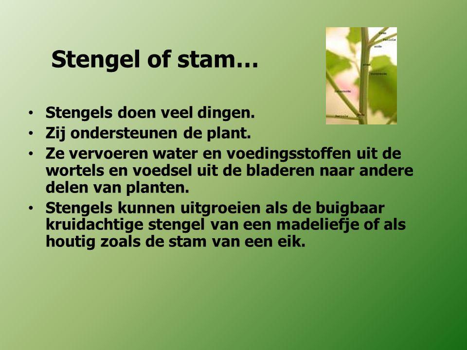 Stengel of stam… Stengels doen veel dingen. Zij ondersteunen de plant.