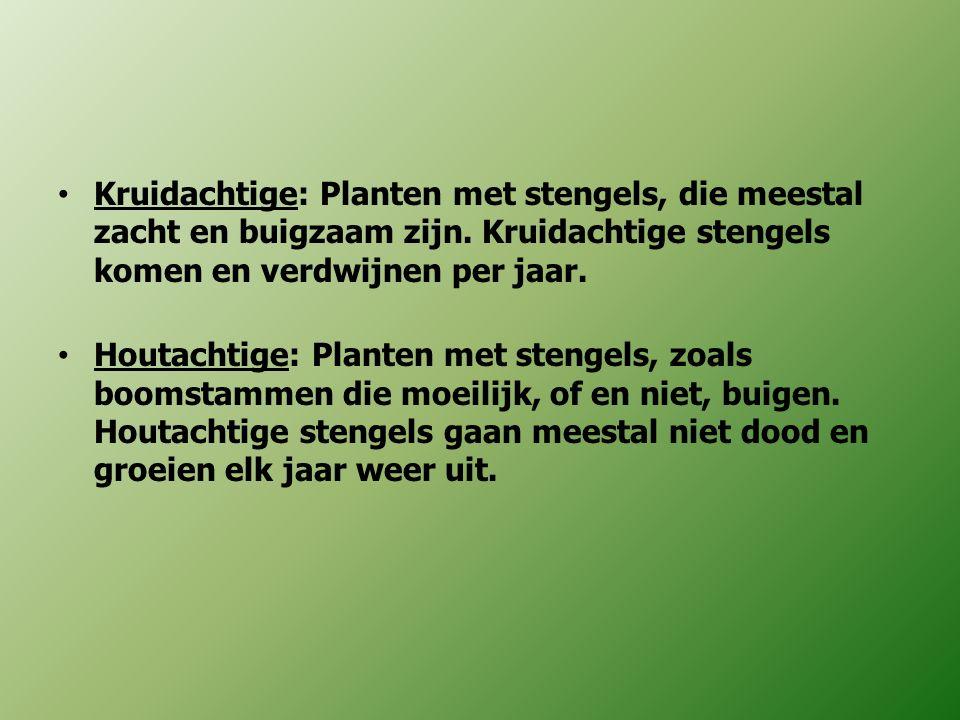 Kruidachtige: Planten met stengels, die meestal zacht en buigzaam zijn