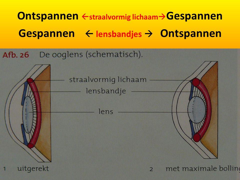 Ontspannen straalvormig lichaamGespannen Gespannen  lensbandjes  Ontspannen