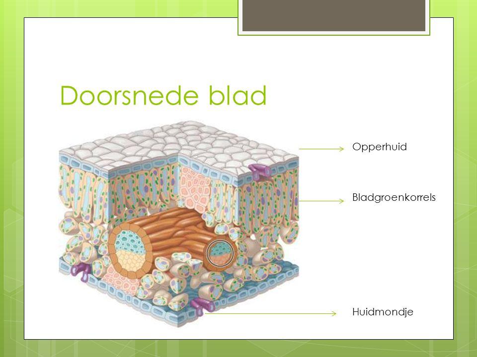 Doorsnede blad Opperhuid Bladgroenkorrels Huidmondje