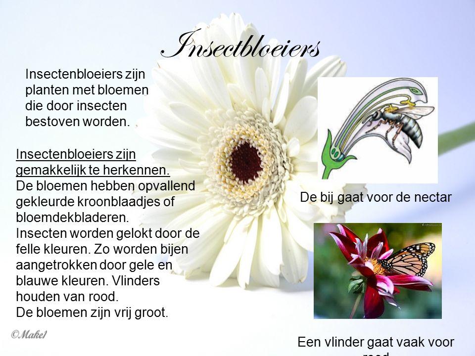 Insectbloeiers Insectenbloeiers zijn planten met bloemen die door insecten bestoven worden. Insectenbloeiers zijn gemakkelijk te herkennen.