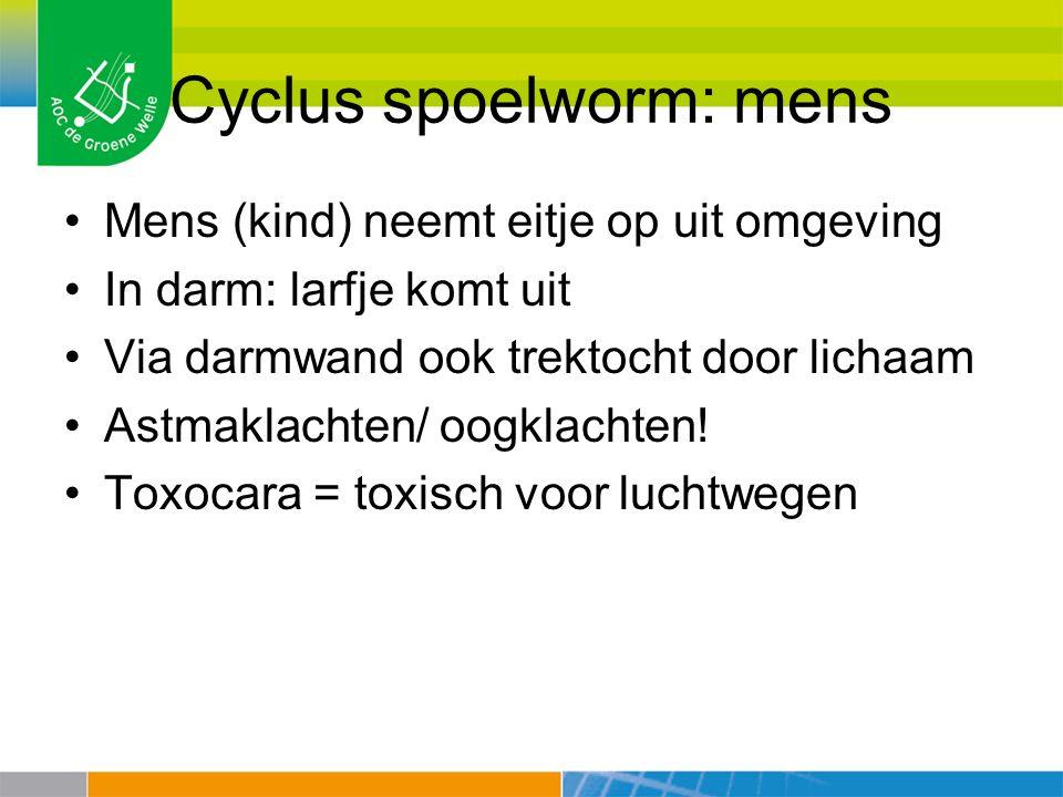 Cyclus spoelworm: mens