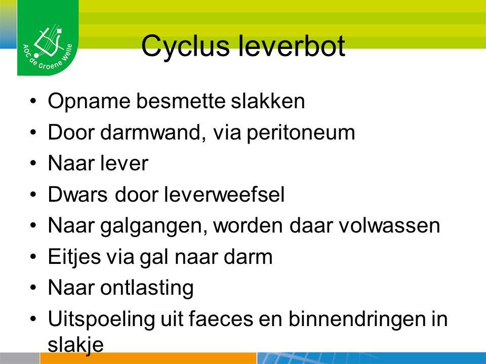 Cyclus leverbot Opname besmette slakken Door darmwand, via peritoneum