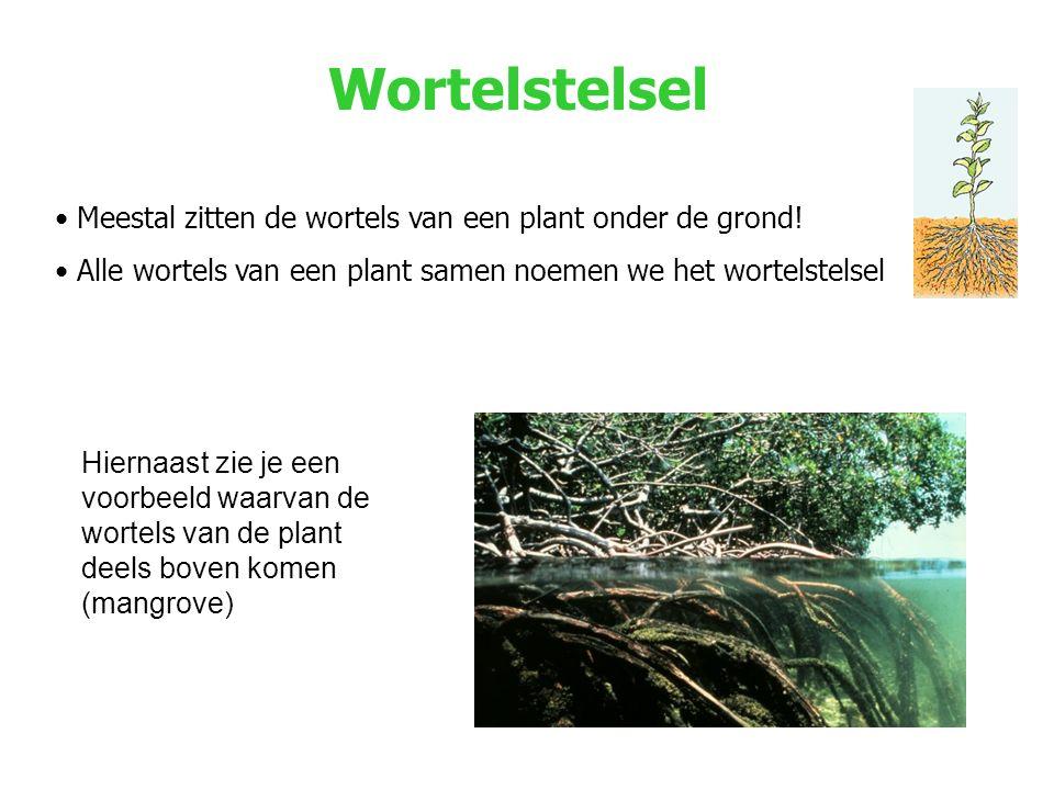 Wortelstelsel Meestal zitten de wortels van een plant onder de grond!
