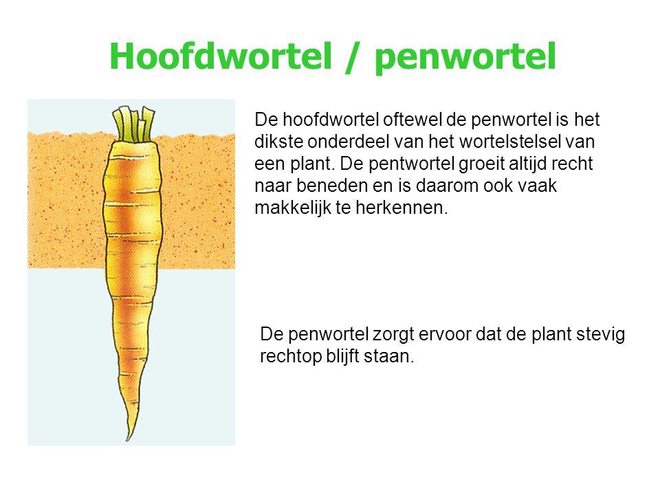 Hoofdwortel / penwortel