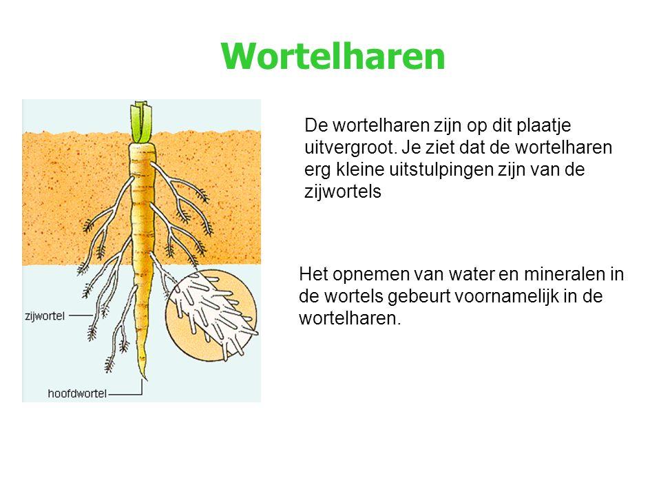 Wortelharen De wortelharen zijn op dit plaatje uitvergroot. Je ziet dat de wortelharen erg kleine uitstulpingen zijn van de zijwortels.