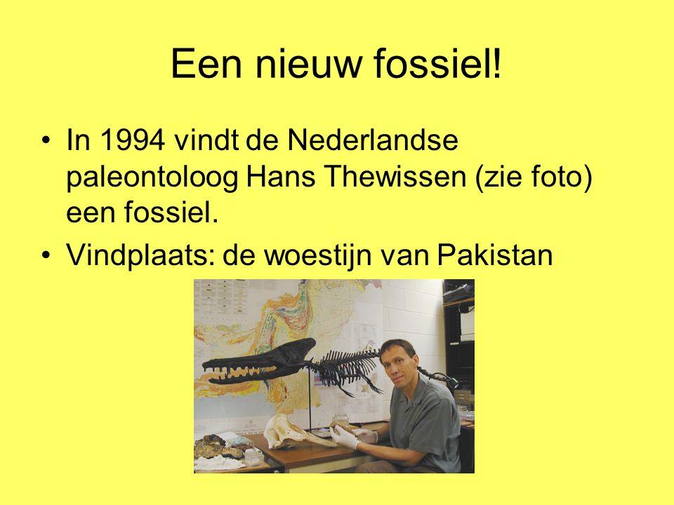 Een nieuw fossiel! In 1994 vindt de Nederlandse paleontoloog Hans Thewissen (zie foto) een fossiel.