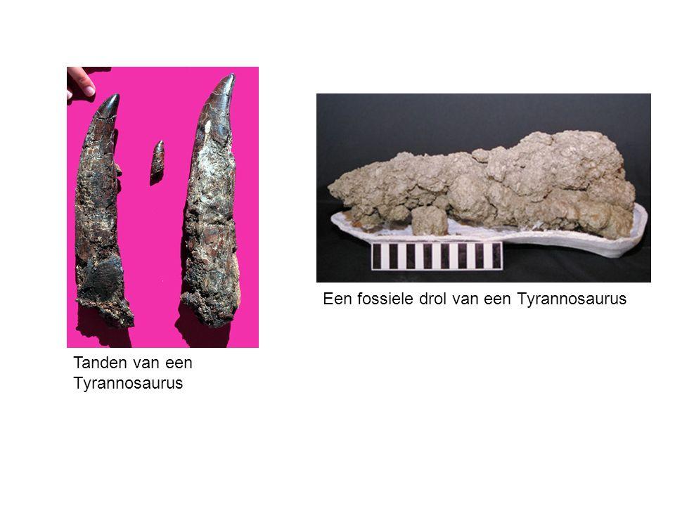 Tanden van een Tyrannosaurus