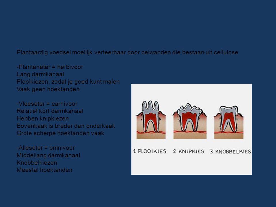 Plantaardig voedsel moeilijk verteerbaar door celwanden die bestaan uit cellulose -Planteneter = herbivoor Lang darmkanaal Plooikiezen, zodat je goed kunt malen Vaak geen hoektanden -Vleeseter = carnivoor Relatief kort darmkanaal Hebben knipkiezen Bovenkaak is breder dan onderkaak Grote scherpe hoektanden vaak -Alleseter = omnivoor Middellang darmkanaal Knobbelkiezen Meestal hoektanden