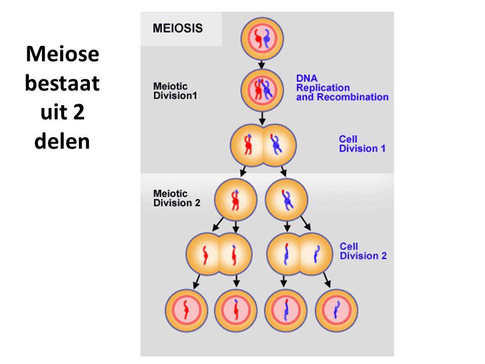Meiose bestaat uit 2 delen