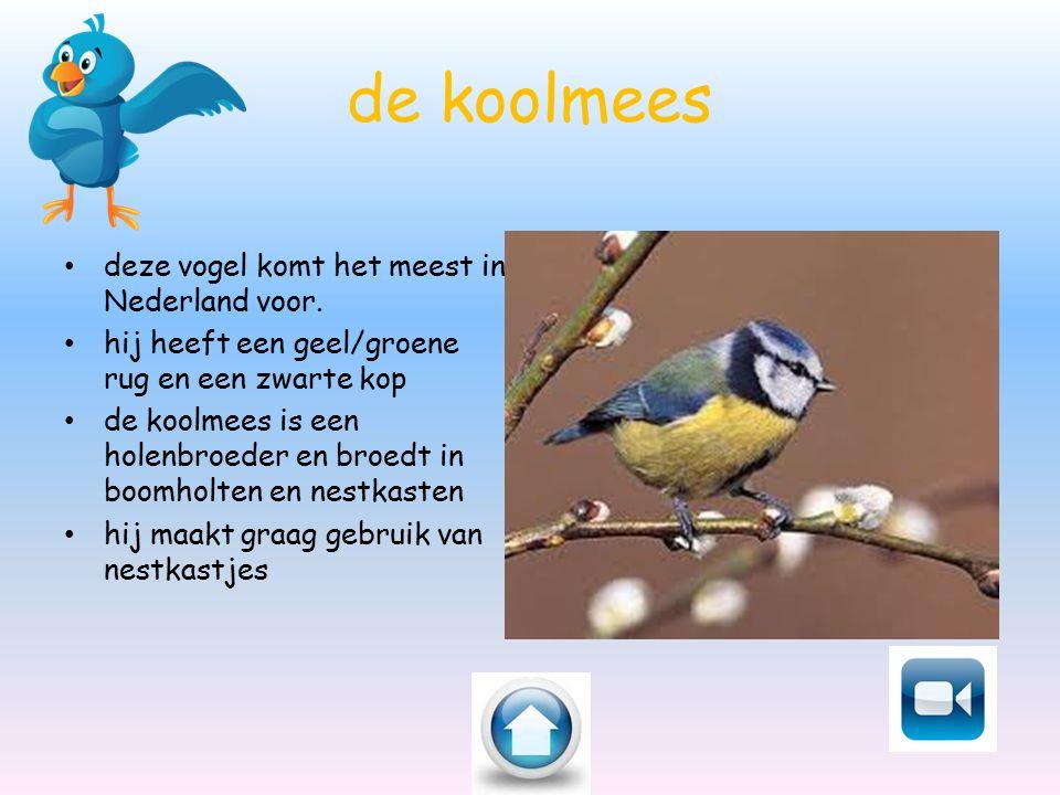 de koolmees deze vogel komt het meest in Nederland voor.