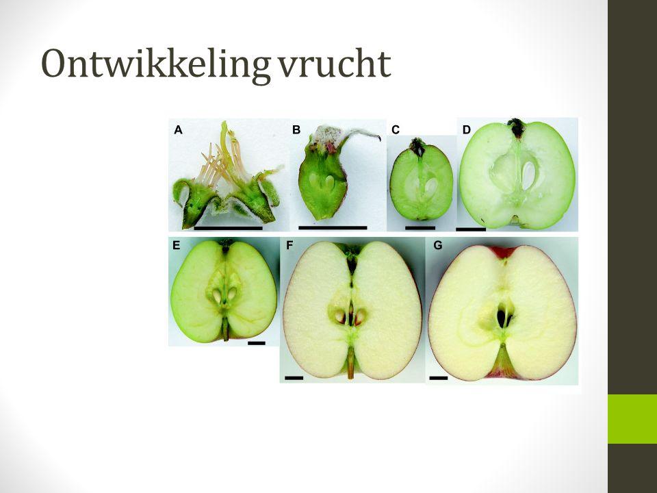 Ontwikkeling vrucht