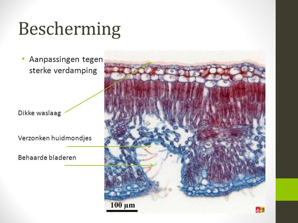 Bescherming Aanpassingen tegen sterke verdamping Dikke waslaag