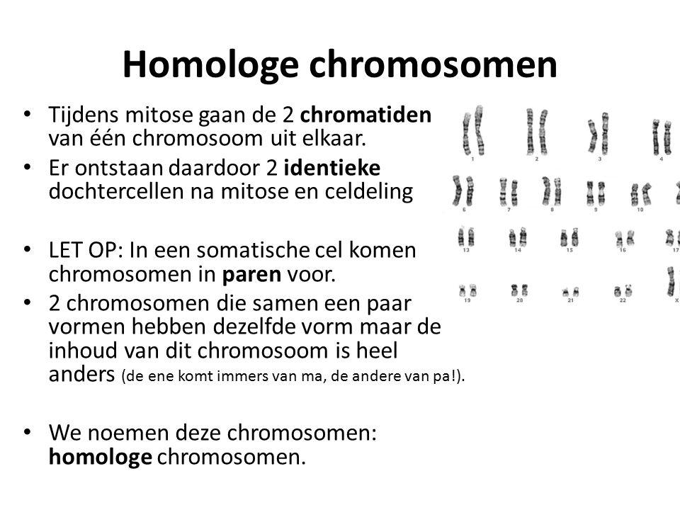 Homologe chromosomen Tijdens mitose gaan de 2 chromatiden van één chromosoom uit elkaar.